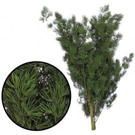 Helecho Mini 30-35 cm Verde