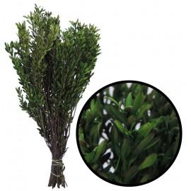 Pubescens ↕30-50 cm Verde