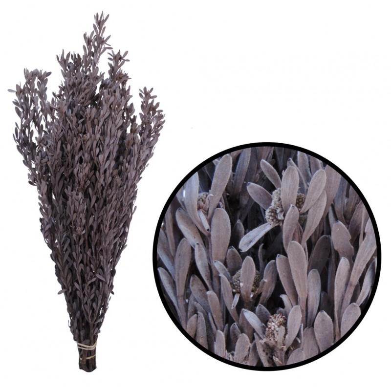 Pubescens ↕30-50 cm Blanco Plata