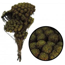 Brunia ↕ 30-40 cm Verde