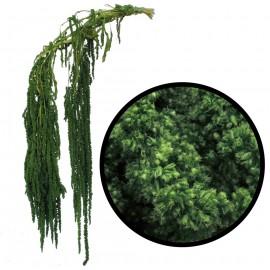 Amarantus ↕ 40-70 cm Verde