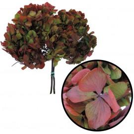 Hortensia Verde / Rojo