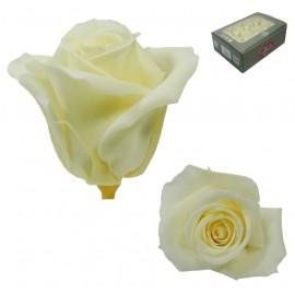Mini Rosa Ø 3,5 cm Champagne (12 uds)