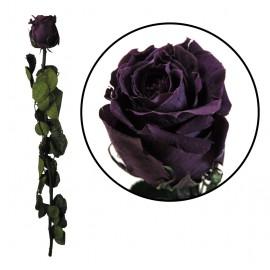 Rosa Amorosa Purpura ↕ 55 cm