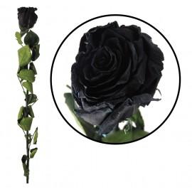 Rosa Amorosa Negra ↕ 55 cm