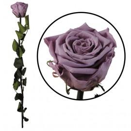 Rosa Amorosa Lila ↕ 55 cm