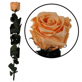 Rosa Amorosa Melocoton ↕ 55 cm