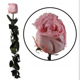 Rosa Amorosa Rosa Pastel ↕ 55 cm