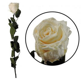 Rosa Amorosa Champagne ↕ 55 cm