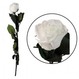 Rosa Amorosa Blanca ↕ 55 cm