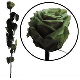 Rosa Amorosa Verde ↕ 55 cm