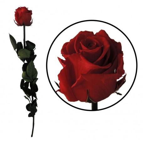 Rosa Amorosa Roja ↕ 55 cm