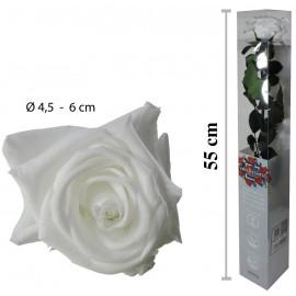 Rosa Amorosa Blanca Caja ↕ 55 cm