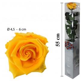 Rosa Amorosa Amarilla Caja ↕ 55 cm