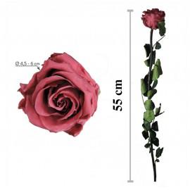 Rosa Amorosa Cranberry Granel ↕ 55 cm