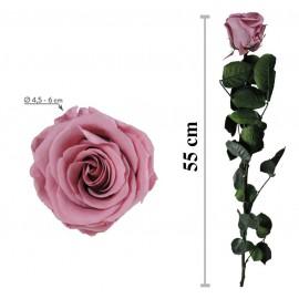 Rosa Amorosa Cherry Blossom Granel ↕ 55 cm