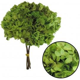 Hortensia Verde Limon Ø 20 cm Pres.