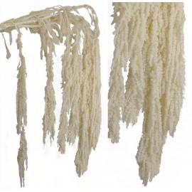 Amarantus Pres. ↕ 70 cm Blanco