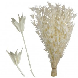 Nigela Orientalis Blanco