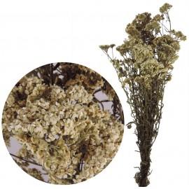 Oxidia Silvestre Natural
