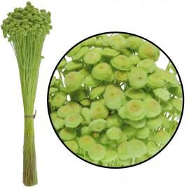 Botao Verde Limon 100 grs