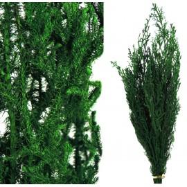 Long Licopodium Pres Verde