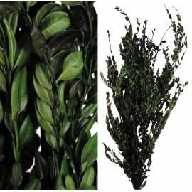 Buxus Pres Verde