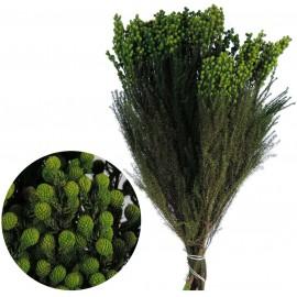 Lanuginosa 30/60 Verde