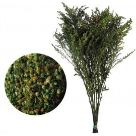 Solydago Verde 40-60 cm