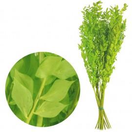 Ruscus Pres Verde Lima