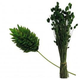 Phalaris ↕60cm Verde