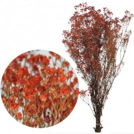 Gypsophila Paniculata Rojo...