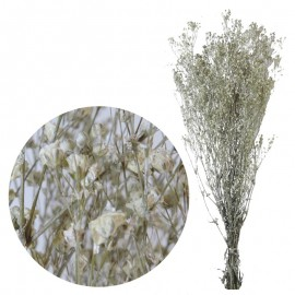 Gypsophila Paniculata...
