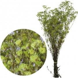 Gypsophila Paniculata Verde...