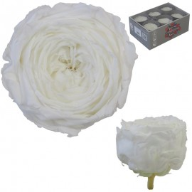 Rosa Inglesa Blanca 6 Uds