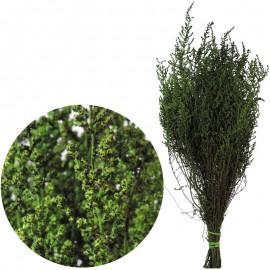 Stoebe Verde 30-50 cm