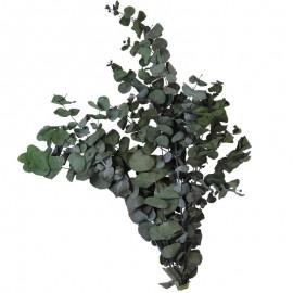 Eucaliptus Cinerea Verde Pres