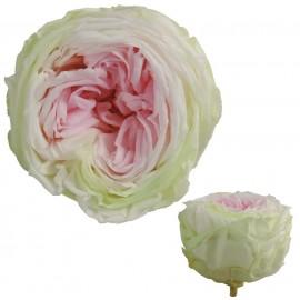 Rosa Inglesa Tricolor 6 Uds
