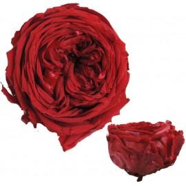 Rosa Inglesa Roja 6 Uds