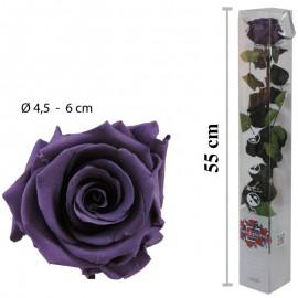 Rosa Amorosa Purpura Caja ↕...