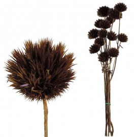 Echinops Pequeño Marron