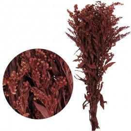 Solydago Rojo 40-60 cm
