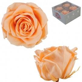 Rosa Premium Melocoton (x4 ud)