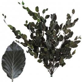 Fagus - Beech Verde 50-100