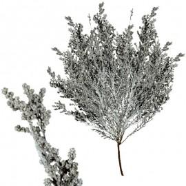 Stoebe Blanco 30-50 cm