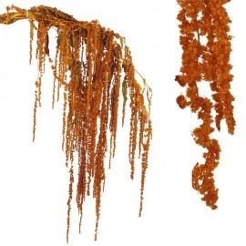 Amarantus Pres. ↕ 70 cm...