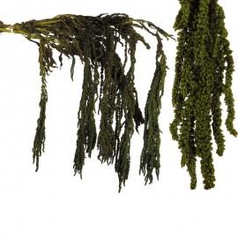 Amarantus Pres. ↕ 70 cm Verde