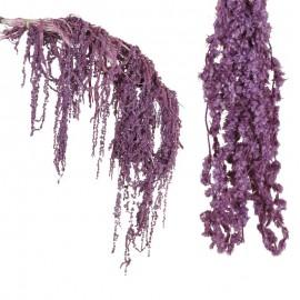 Amarantus Pres. ↕ 70 cm Lila
