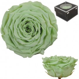 Rosa XXL Verde Claro (1 ud)