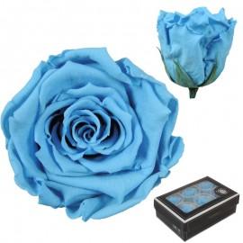 Rosa Large Celeste x6